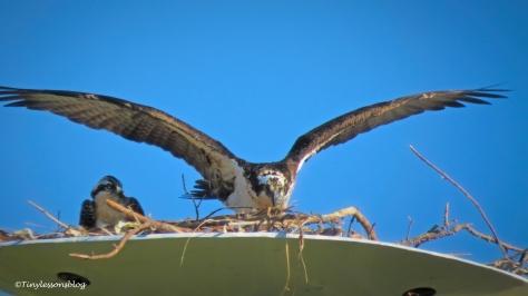 mama osprey returns ud160