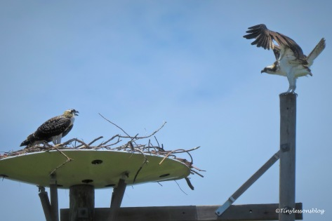 mama osprey returns ud161