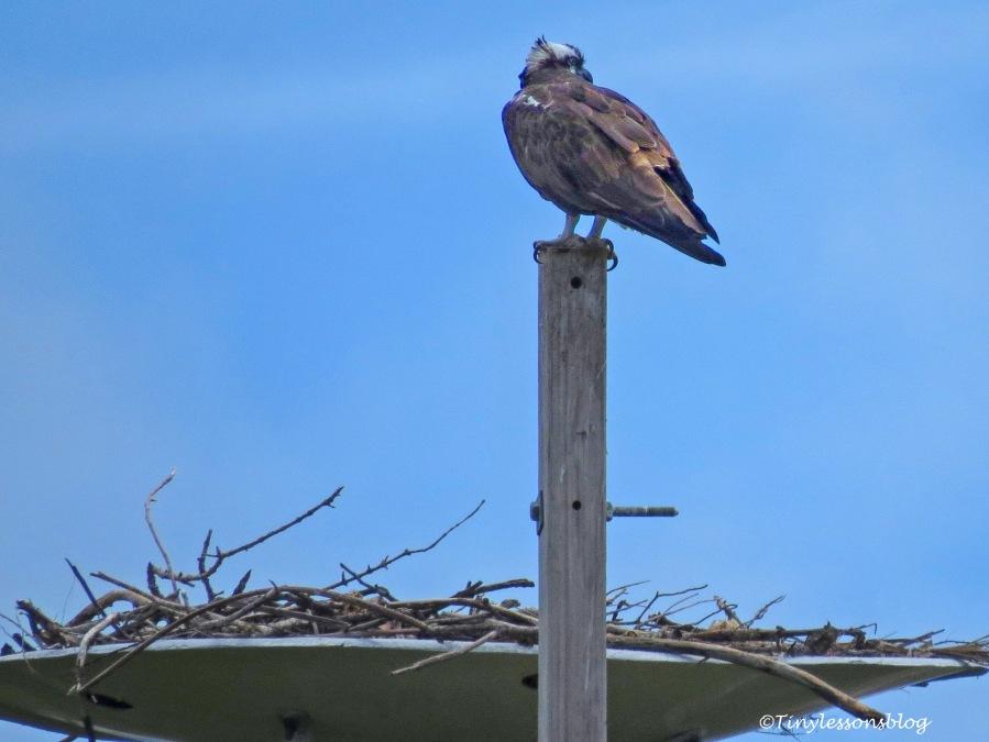 Mama osprey UD161