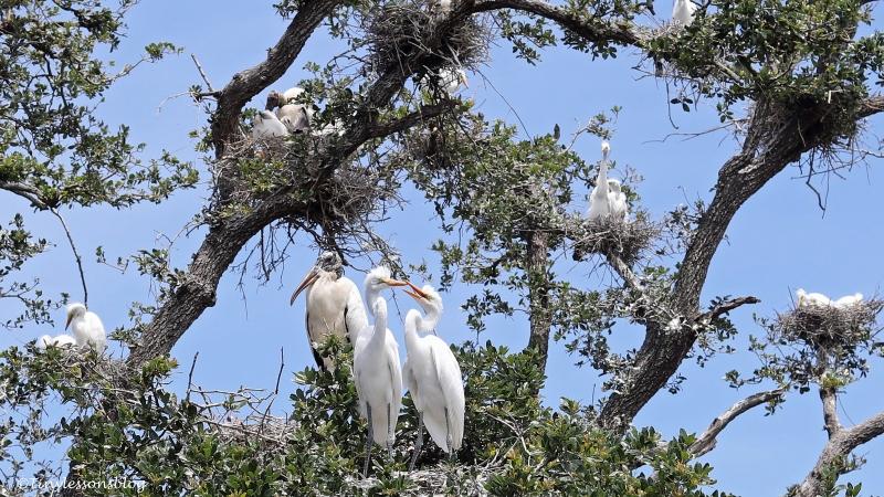 nesting birds st augustine 16x9 ud160