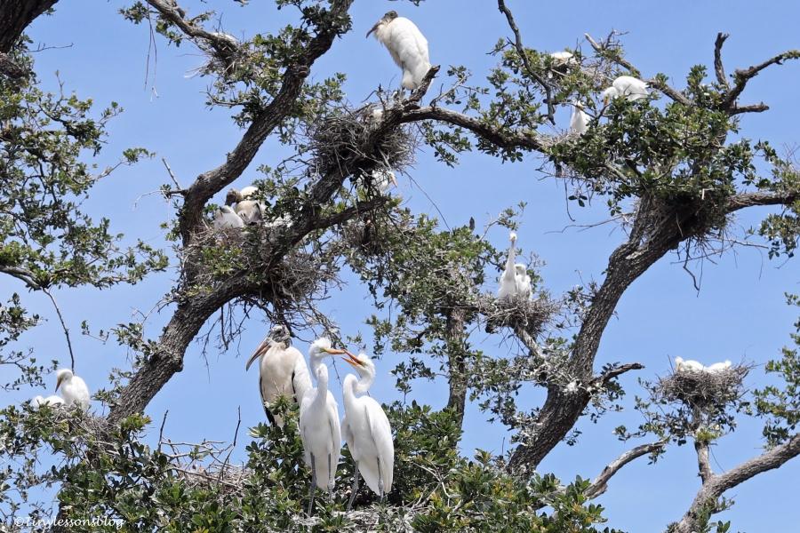 nesting birds st augustine ud160