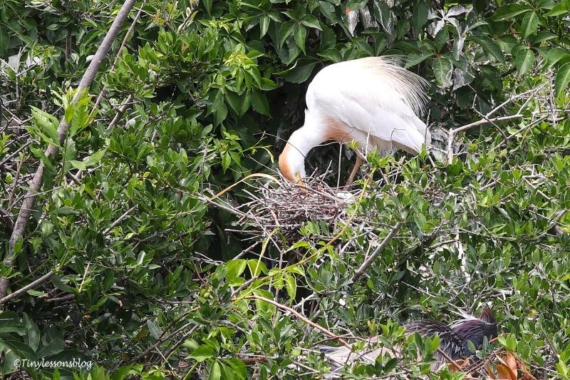 nesting cattle egret ud160