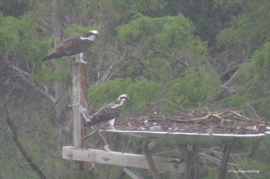 osprey chick and mom in the rain ud161