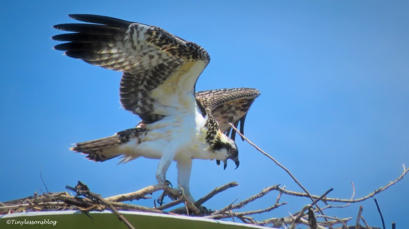 Osprey chick bubbette practices flying UD161