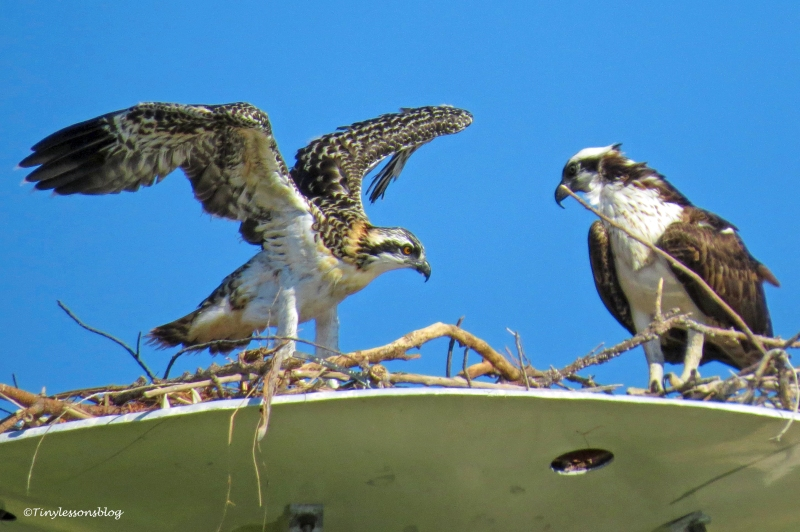 osprey chick flexes her wings ud160