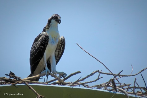 Osprey chick perching on the highest branch in the nest ud161