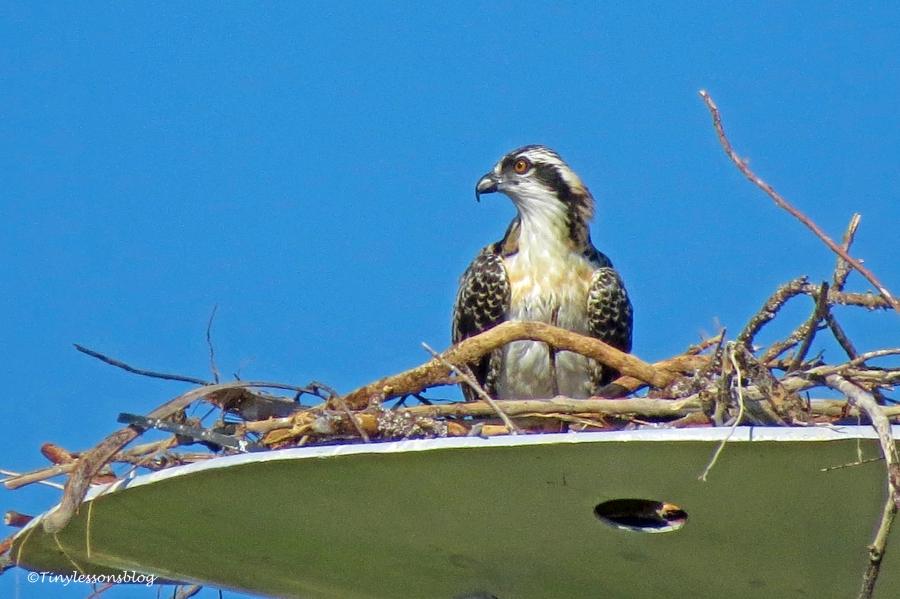 osprey chick ud160