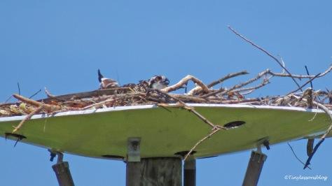 osprey chick waits for mama osprey ud161