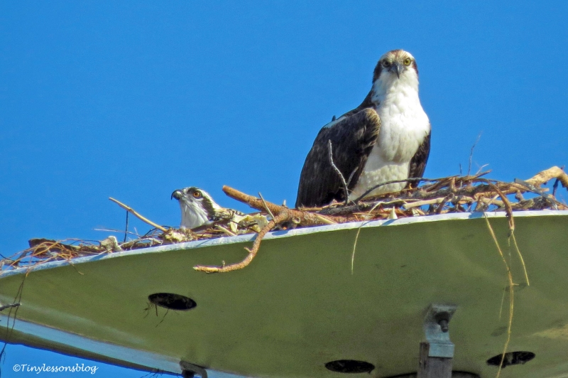 papa osprey and the chick ud160