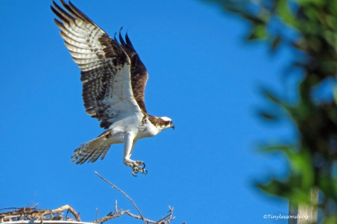 papa osprey flies to the perch ud160