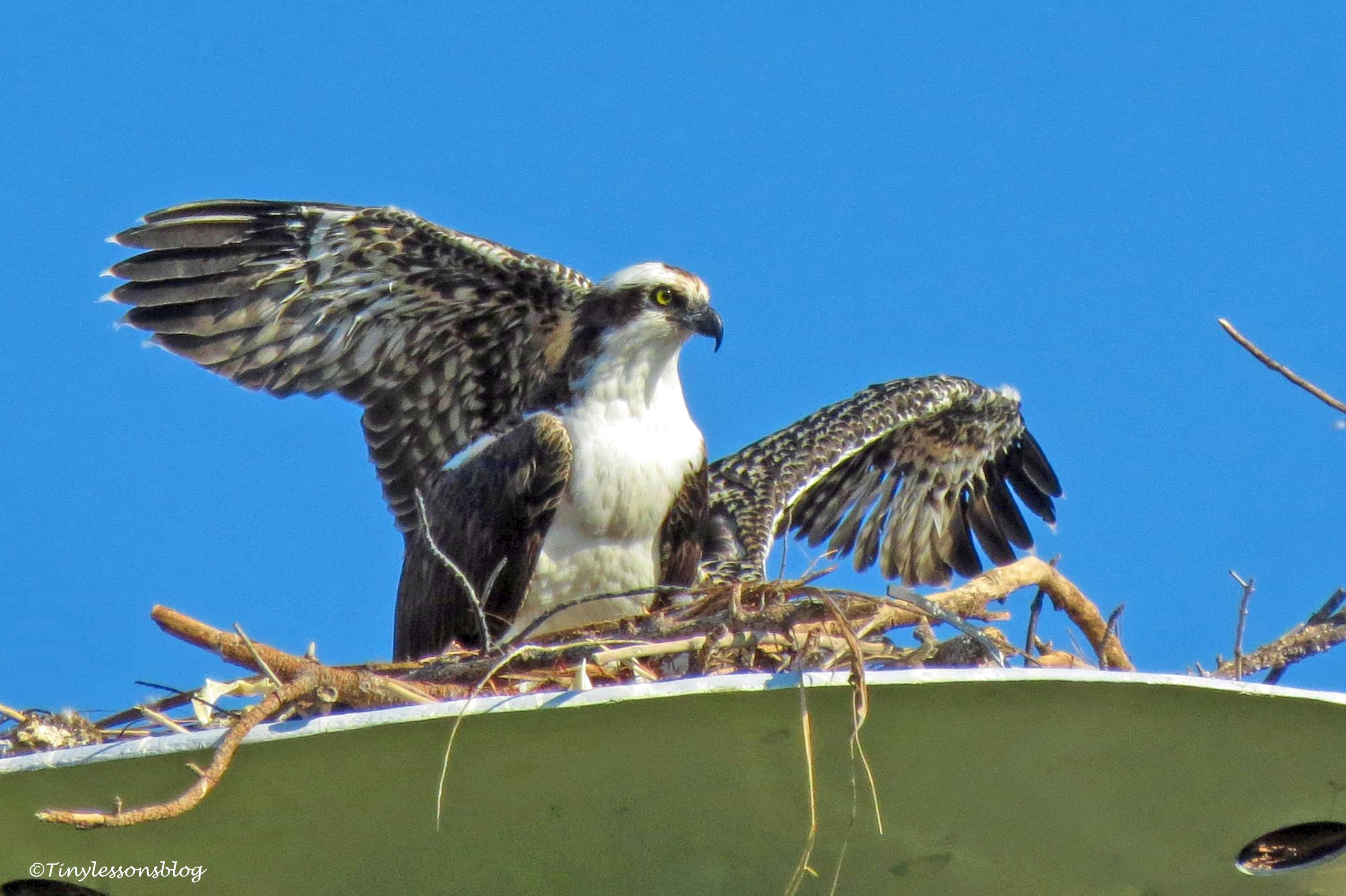 papa ospreys fake wings ud160
