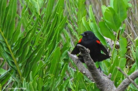 redwinged blackbird male ud161
