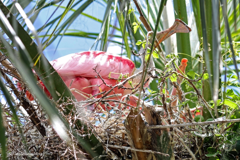 Roseate spoonbill feeds baby ud160