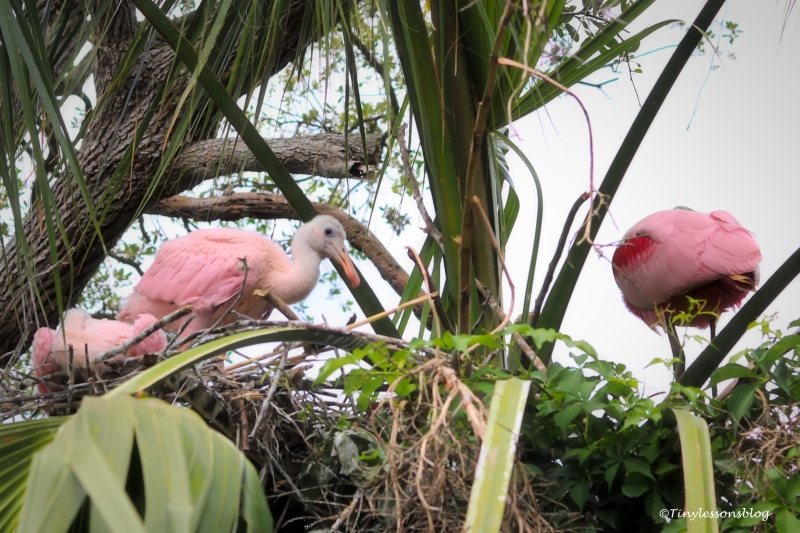 roseate spoonbill with babies ud160