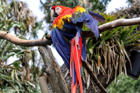 scarlet macaw st augustine ud160