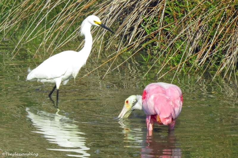 snowy egret and miss rosa ud161