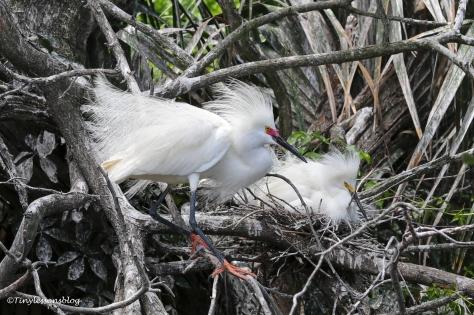 snowy egret nesting ud160