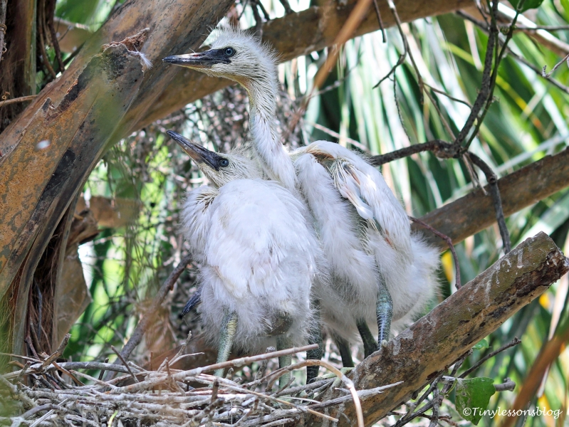 snowy egrets babies ud160