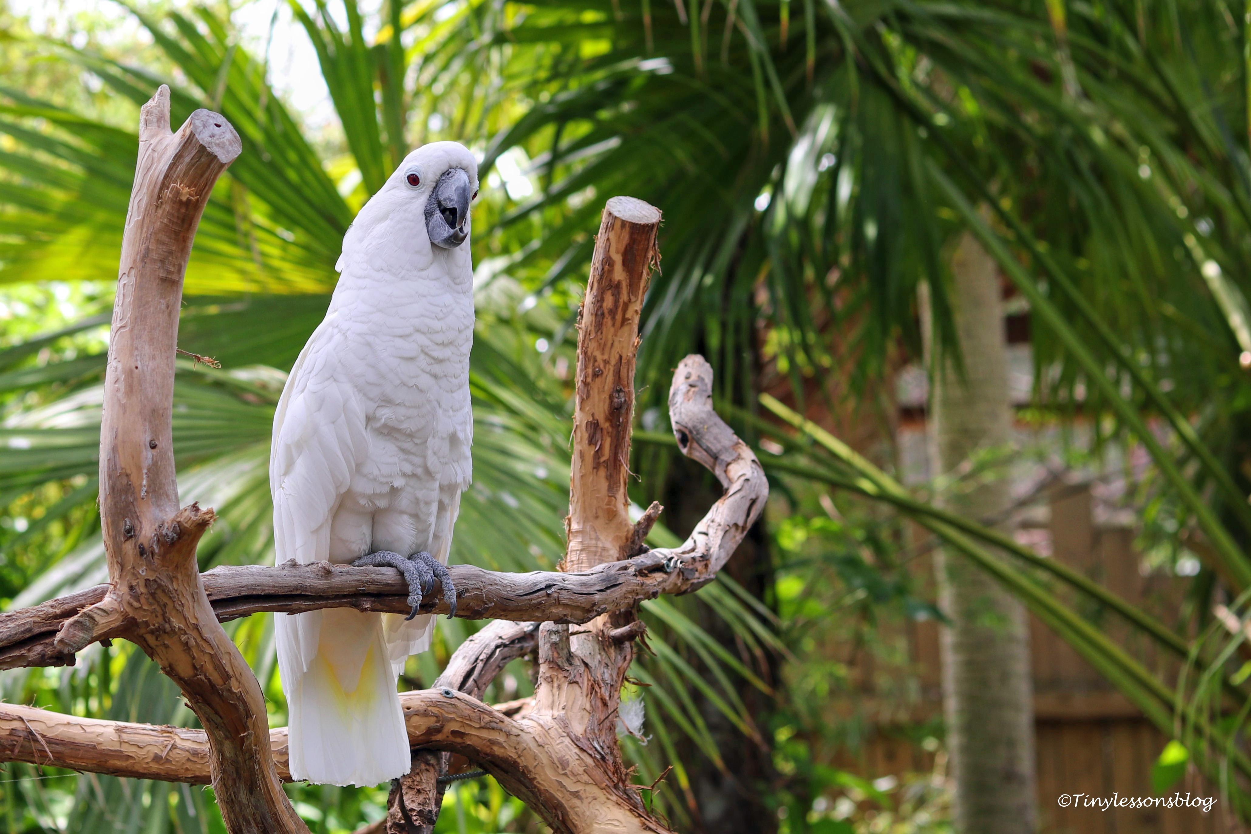 suphur-crested Cockatoo ud160