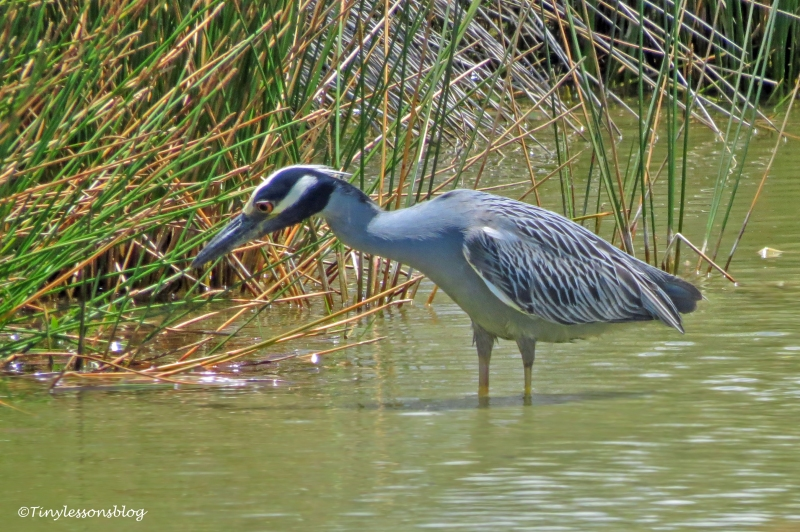 yellowcrowned night heron ud161