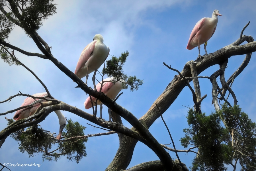 young roseate spoonbills ud160