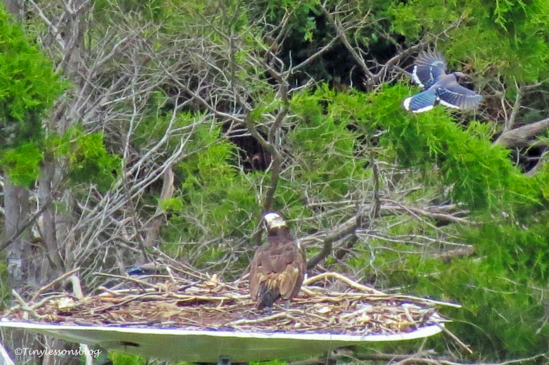 blue Jay flies over the nest UD162