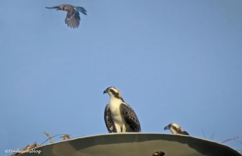 Blue jay flies ud162