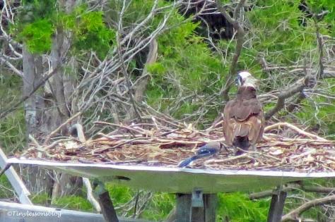 blue jay lands at the nest ud162