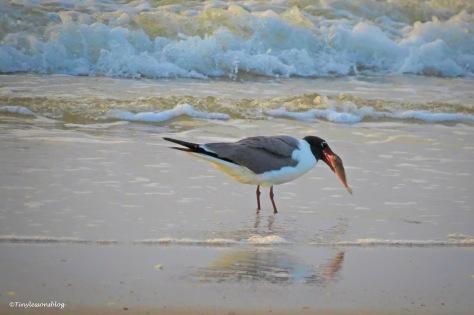 laughing gull fishing UD163