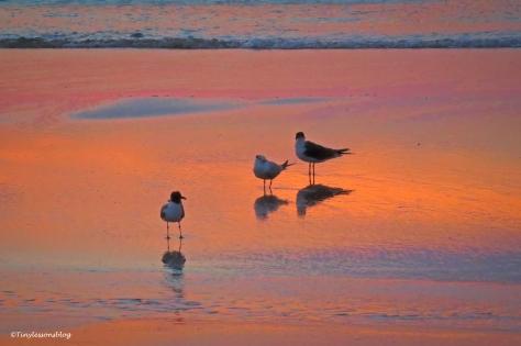 laughing gulls on jax beach UD163