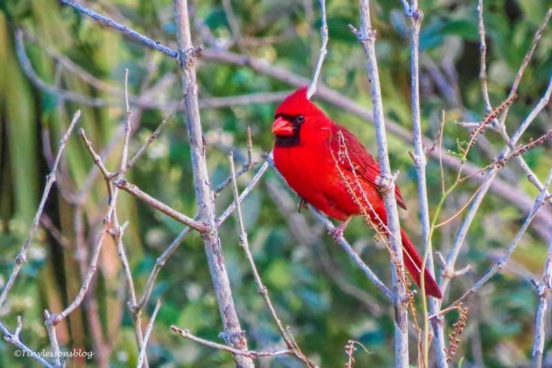 male cardinal ud162
