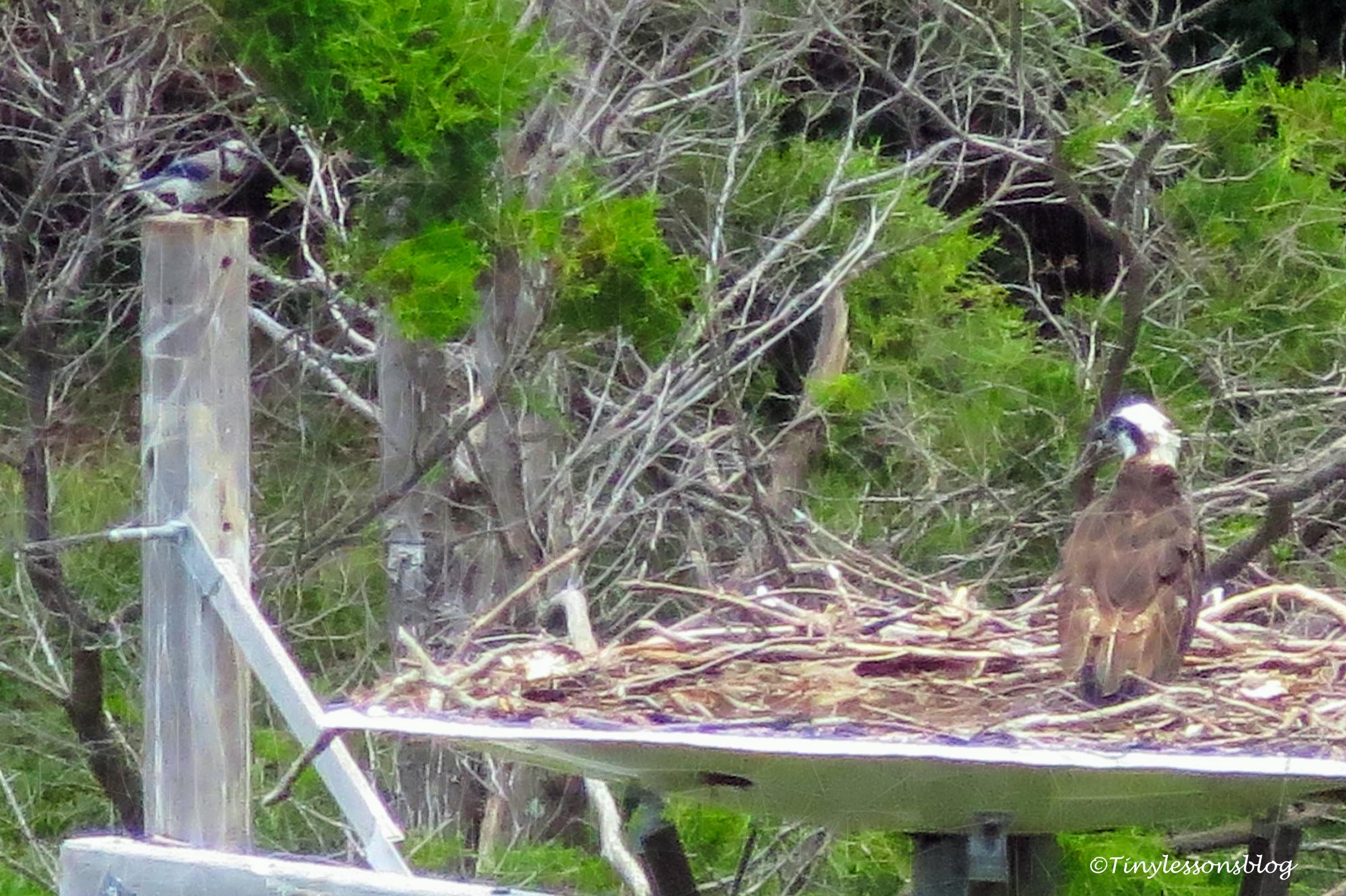 mama osprey and a Blue Jay 2 ud162