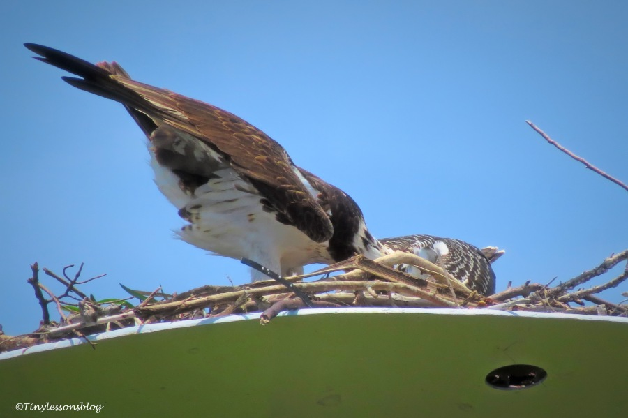 Mama osprey and chick share the fish ud161