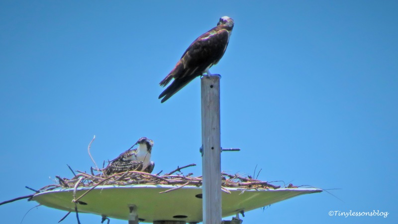 mama osprey and the chick at the nest june 1 ud161