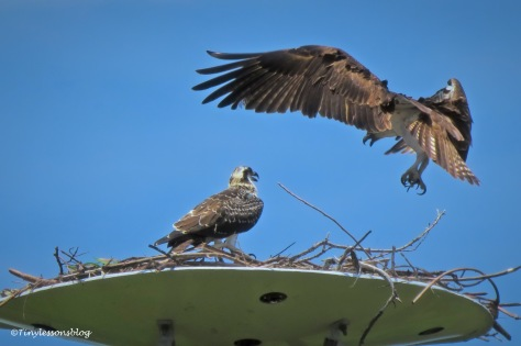 Mama osprey flies down from the perch ud161
