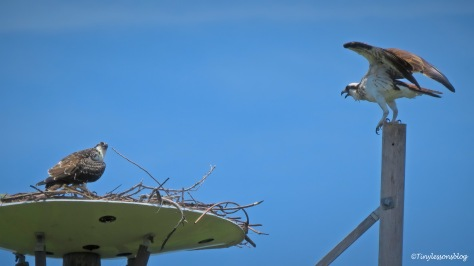 Mama osprey sees fish delivery ud161