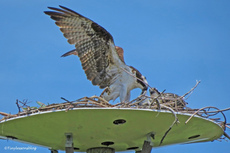mama osprey takes the fish ud161