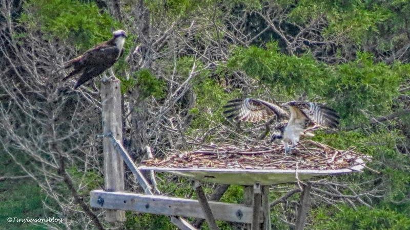 osprey chick makes perfect landing 2 ud161