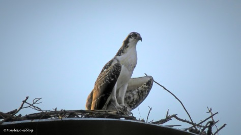 osprey chick night before fledging ud161