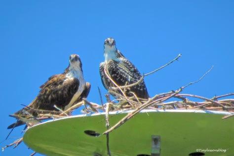 osprey chick with mama osprey ud162