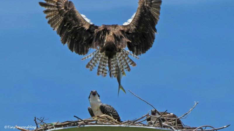 papa osprey brings a fish ud161