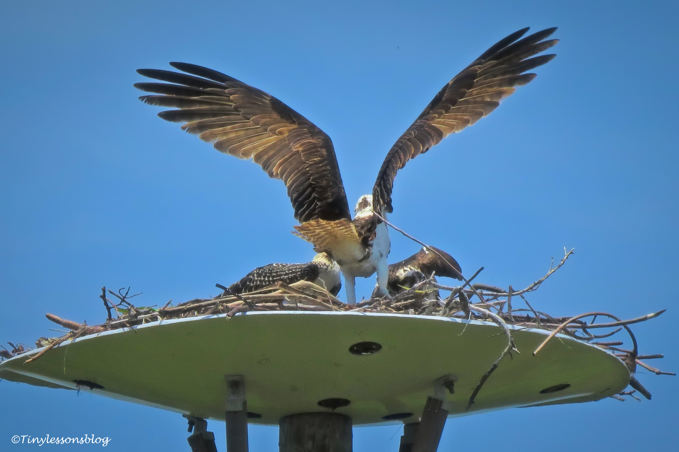Papa Osprey in the nest ud161