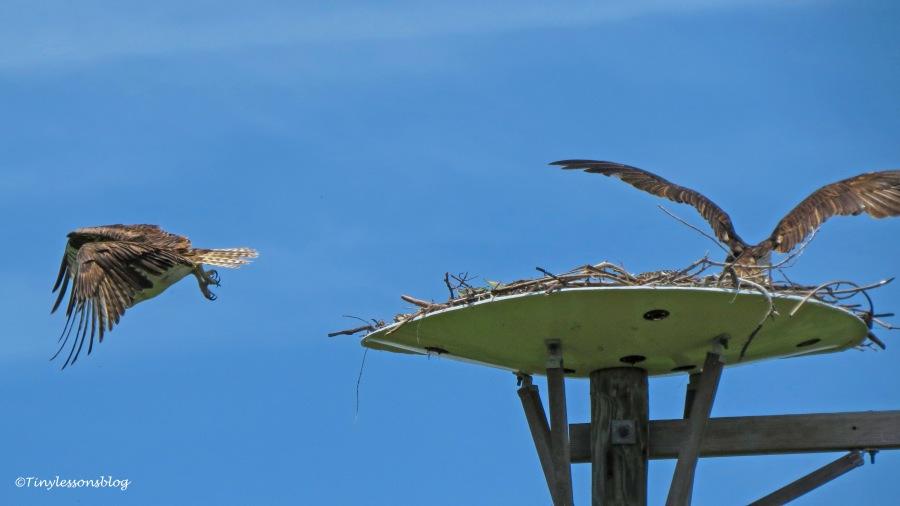 papa osprey leaves ud161