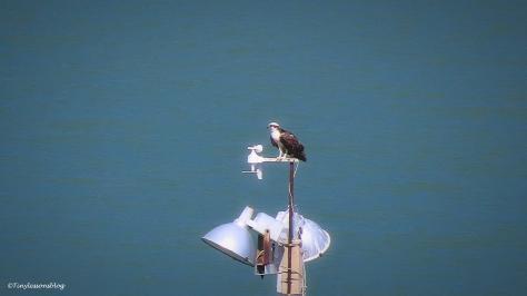 papa osprey ud163