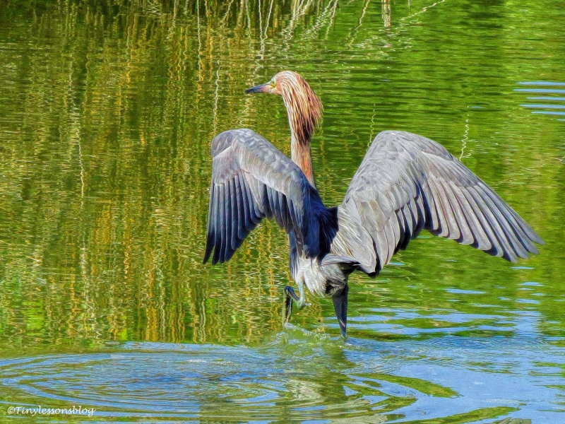 Reddish Egret is hunting ud162