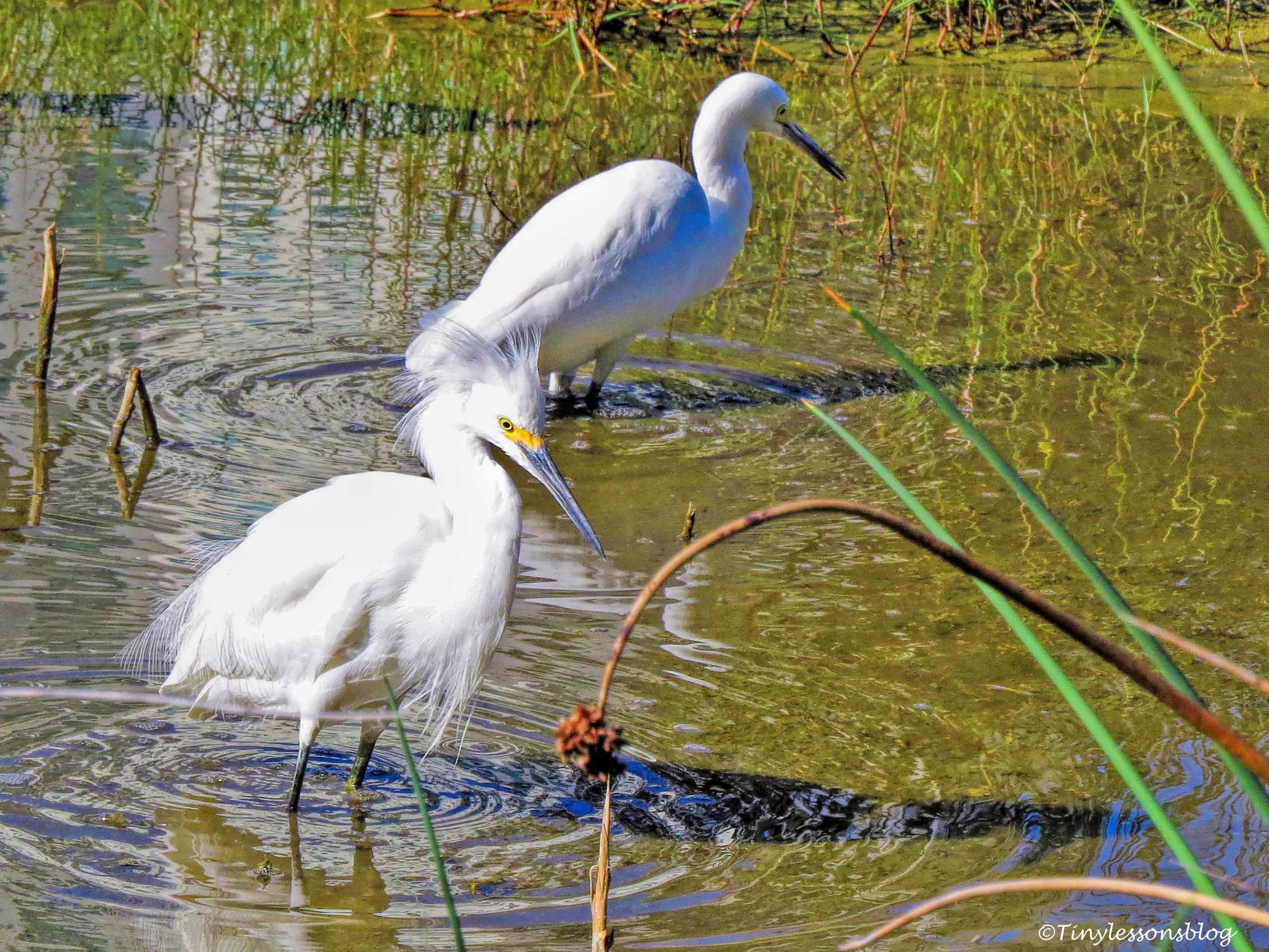 snowy egrets ud162