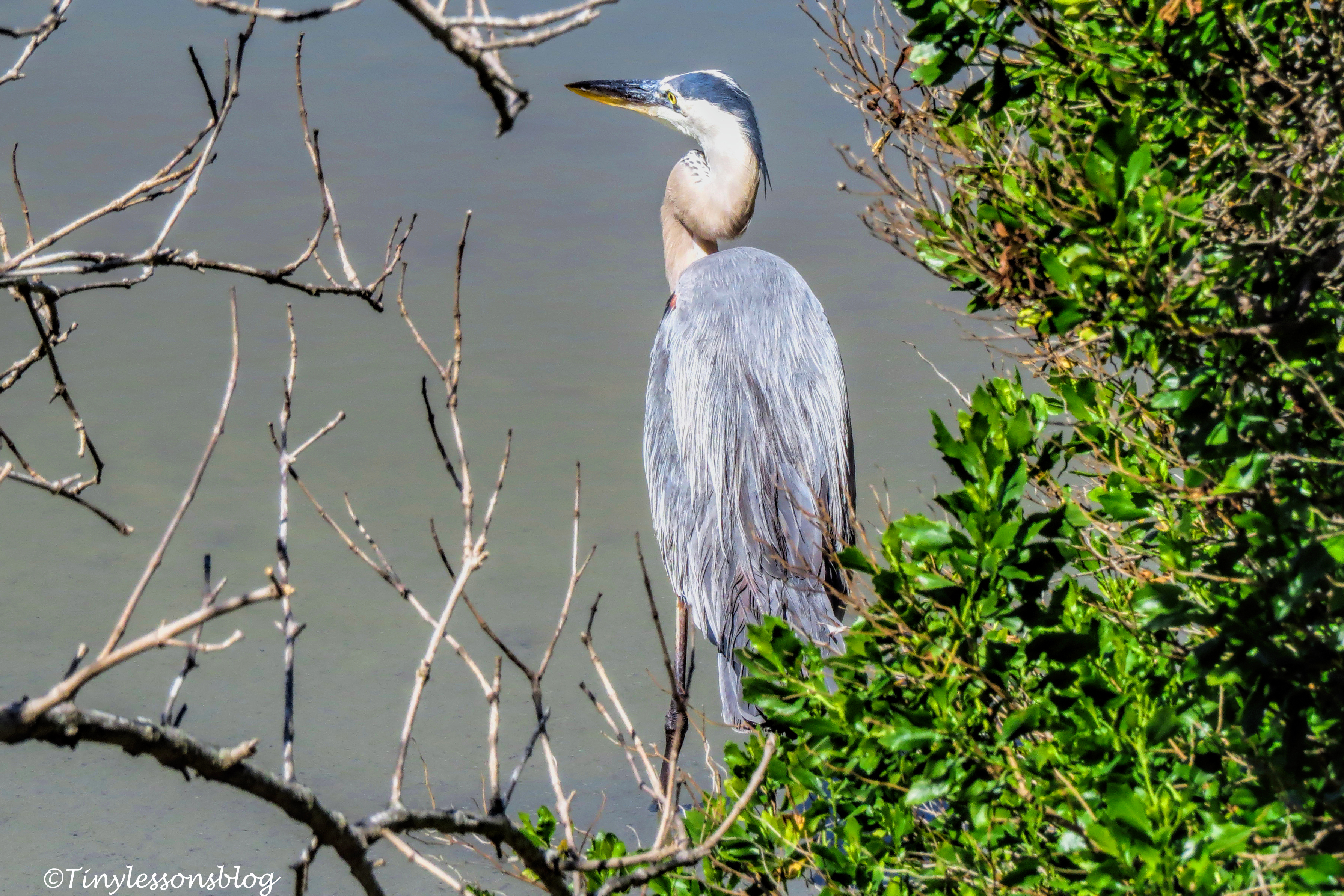 the younger blue heron ud162