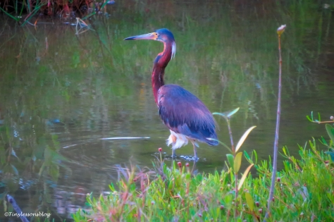 tricolored heron at sunset ud162