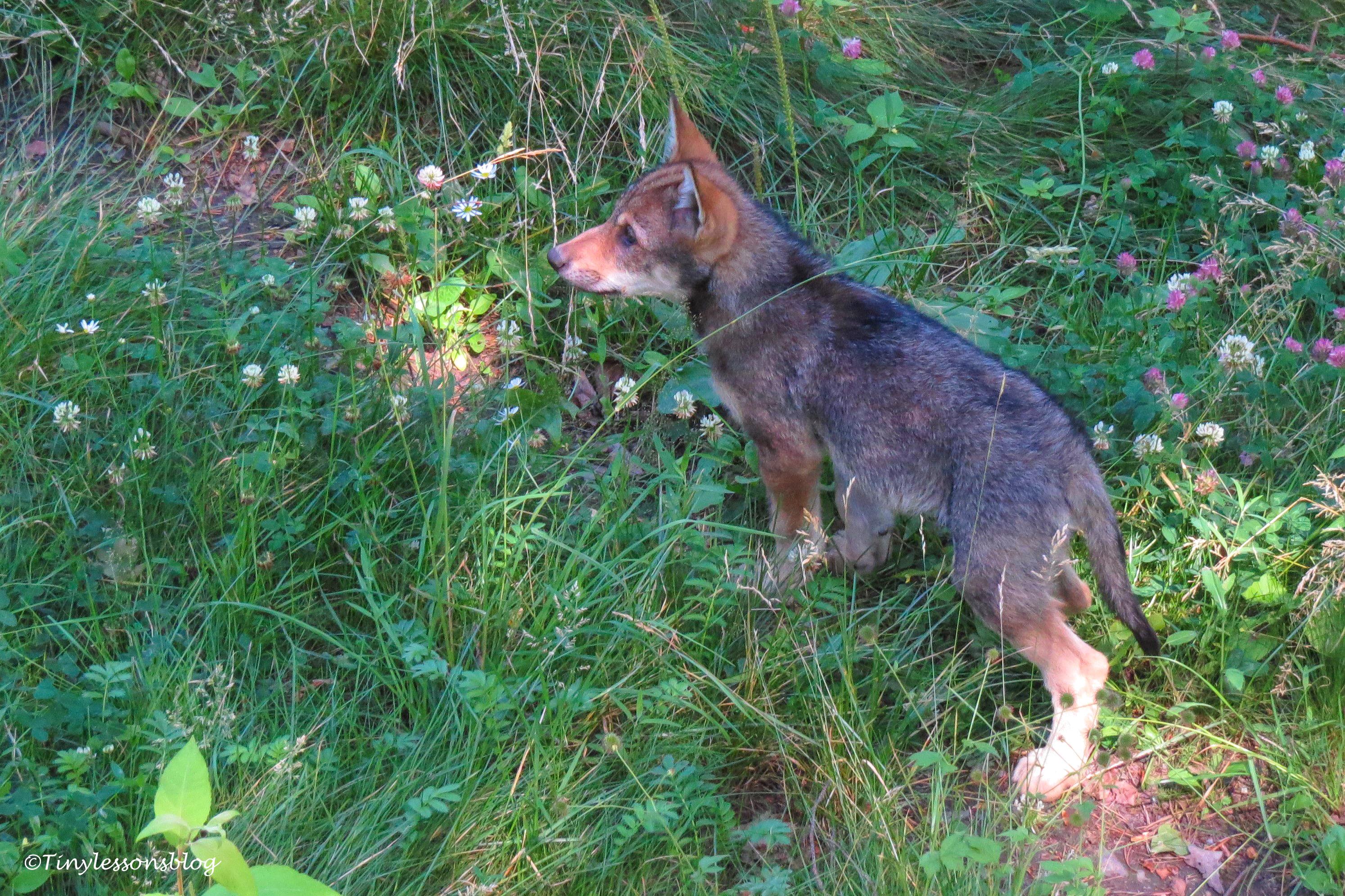 a third wolf cub skansen UD166