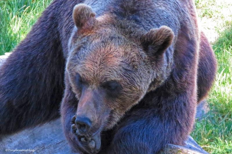 brown bear 2 skansen UD166